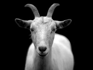 goat-50290_1280